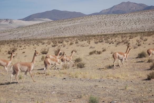 compañeras del camino vicuñas